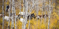 photo of cowboy pushing horses in autumn, trees, Wyoming, Jackson Hole, fall colors, landscape photography, horses, equine, cowboy, western, large format, cowgirl, ranch, museum, fine art, print, jess