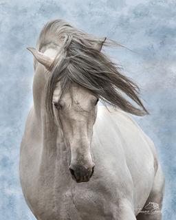Andalusian Stallion at Liberty MXCA_4671