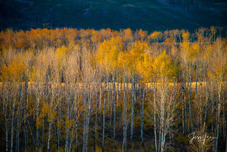 Layered Golden Aspen Trees in the Beartooth mountains of Montana.