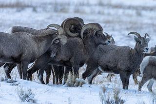 big horn sheep, grand teton, Tetons, winter, Wyoming, Cold, Snow,