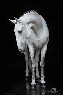 Grey Lusitano Horse Portrait BFOW_6626