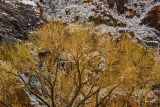 Autumn leaves with snow in Zion 2