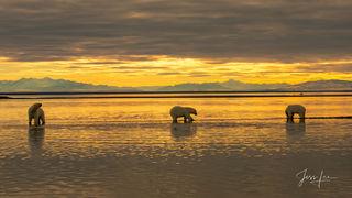 Polar Bear Golden Hour