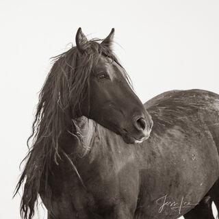 Black Stallion | Wild Mustang Stud