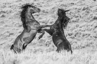 Black & White Wild Horse Stallions fighting on their hind legs