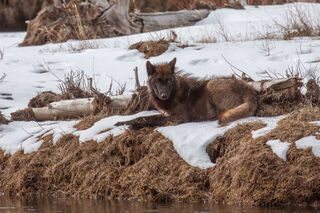 Wolf, Wolves, Yellowstone, national park, photograph, picture, print, collectable, wold, pack, , wolf photographs