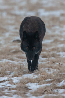 Beautiful Wild Black Wolf approaching Photographer. Wolves like this can appear dangerous but in reality they are just curious, but maybe they are curious to see if you could become prey., picture, ph