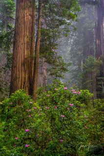 Over abundance | California's Redwoods and Rhododendrons