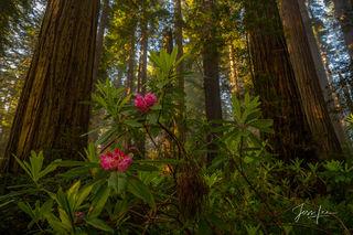 Redwoods Pride