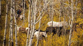 Herding Through the Aspen Maze