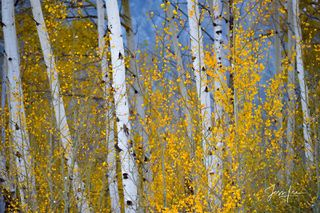 Photograph of the Aspen Trees in contrast to the blue light on the mountain barely visible in the background.,