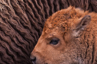 bison mom and calf in Yellowstone, national park,