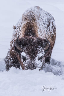 Bison, Yellowstone, winter, buffalo, cold, , national park