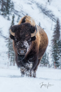 Big Bull Bison in winter with frost or snow on his face,