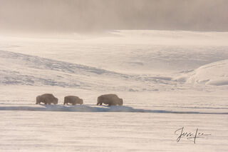 Yellowstone bison in winter, national park,