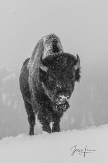 winter black and white photo of frozen buffalo Yellowstone, national park,