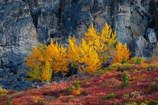 Vibrant yellow birch trees stand out against the grey mountainside.