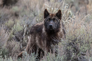 Last of the Druids, Yellowstone Wild Wolf Photograph. Lone Druid Wolf Pup, wolves, druid pack, Yellowstone, wild wolf., national park, photograph, picture, print, collectable, wold, pack, wolf photo,