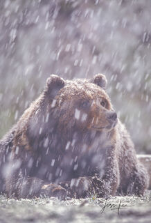Grizzly, national park, bear, Yellowstone, snow, fine art, winter, , Grizzly Bear Photograph, Grizzly bear picture, Grizzly bear print