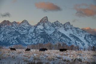 grand teton, Tetons, winter, Wyoming, Cold, Snow, , Moose, print, fine art, mammals, photograph, photo, wilderness