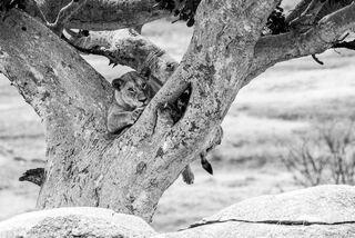 Lion Resting in Tree