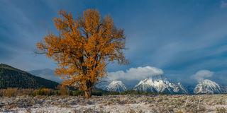 Photo, Teton, tree, autumn, color, cottonwood, Mt Moran, Panorama, mountain, Prints, fine art, luxury, limited edition,