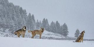 Yellowstone Howl
