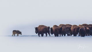 Picture of a Wolf with bison
