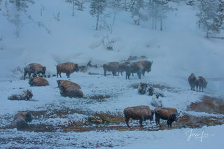 Buffalo in winter landscape photography,
