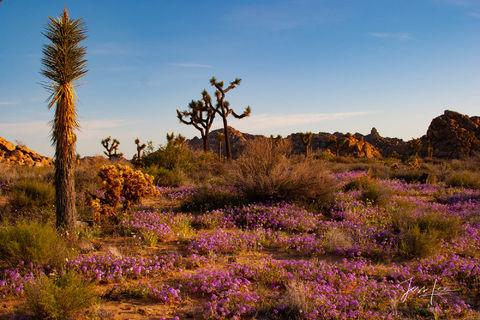 Joshua Trees and purple flowers in California's desert.