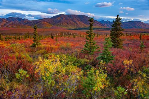 Fall color covering Denali National Park's landscape in a thick blanket of red, orange, yellow, and green.