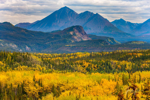 Vibrant yellow trees and evergreens covering Denali National Park's landscape.