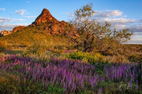Purple spring flowers in full bloom in Arizona's Sonora desert.