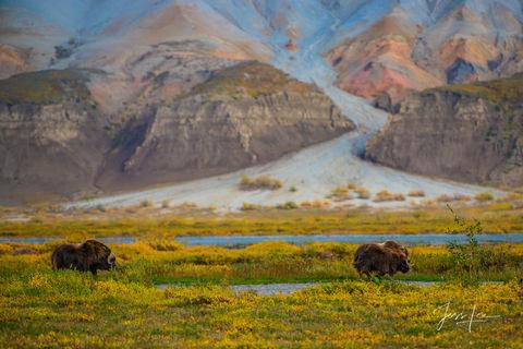 Arctic Musk Ox grazing on the tundra