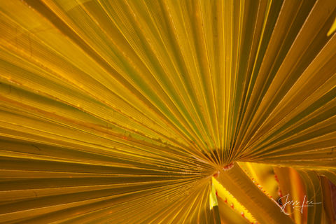 Close-up of a palm leaf in Palm Springs, California.