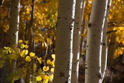 Aspen trees in Sierra Mountains, California.