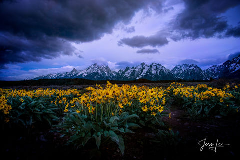 Spring flowers in the Tetons