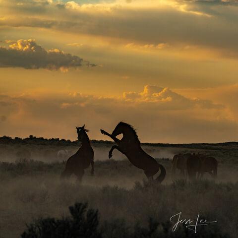Sundown Fury   Stallions at play
