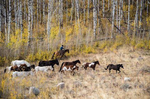 Autumn Horse Roundup   Horses in the Aspens with Cowgirl