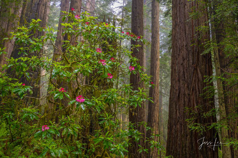 Rhododendrons in full bloom in California's redwoods.