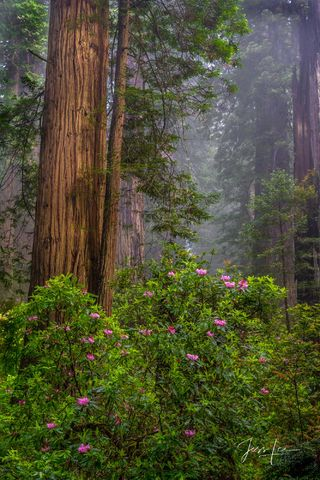 An abundance of rhododendrons standing out in the California redwoods.