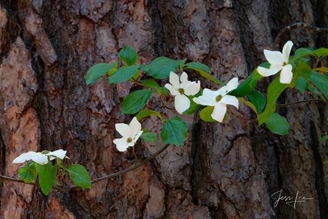 Yosemite Bloom