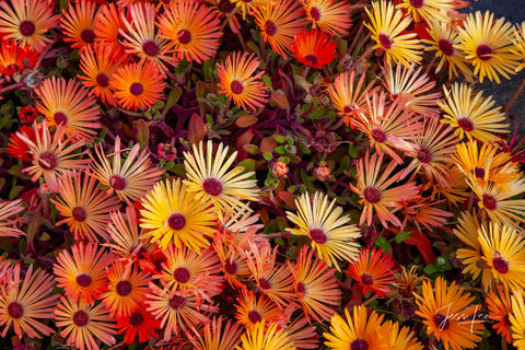 Flowers blooming in vibrant hues of yellow and orange. Alaska's wilderness is full of diverse plant life.