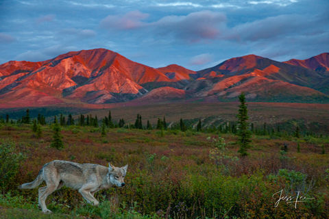 Picture of a wolf prowling in Alaskan tundra during autumn.
