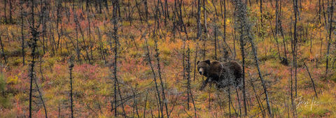 Grizzly bear exploring in Alaska's Arctic tundra.
