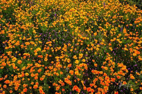 Desert flowers blooming in Arizona's desert landscape.