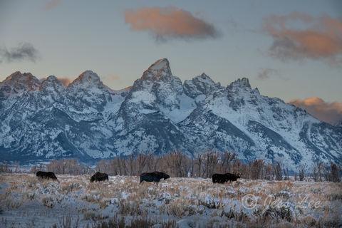 Moose Row   Grand Teton Wintering Moose
