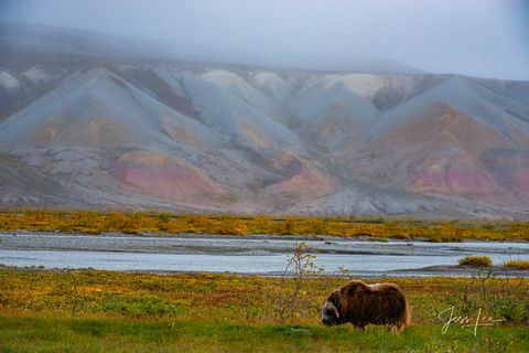 A lone musk ox stands in an open field in Alaska's arctic tundra