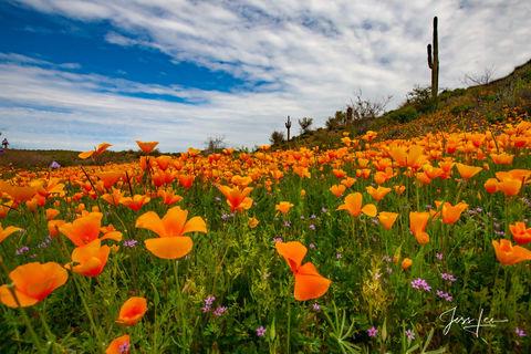 Poppy field in full bloom in the Arizona desert.