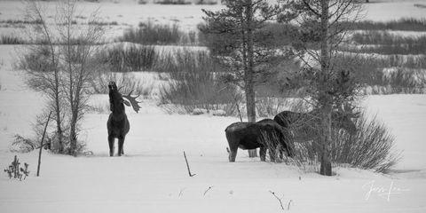 Moose in Yellowstone Winter
